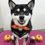 柴犬 ちまきちゃん